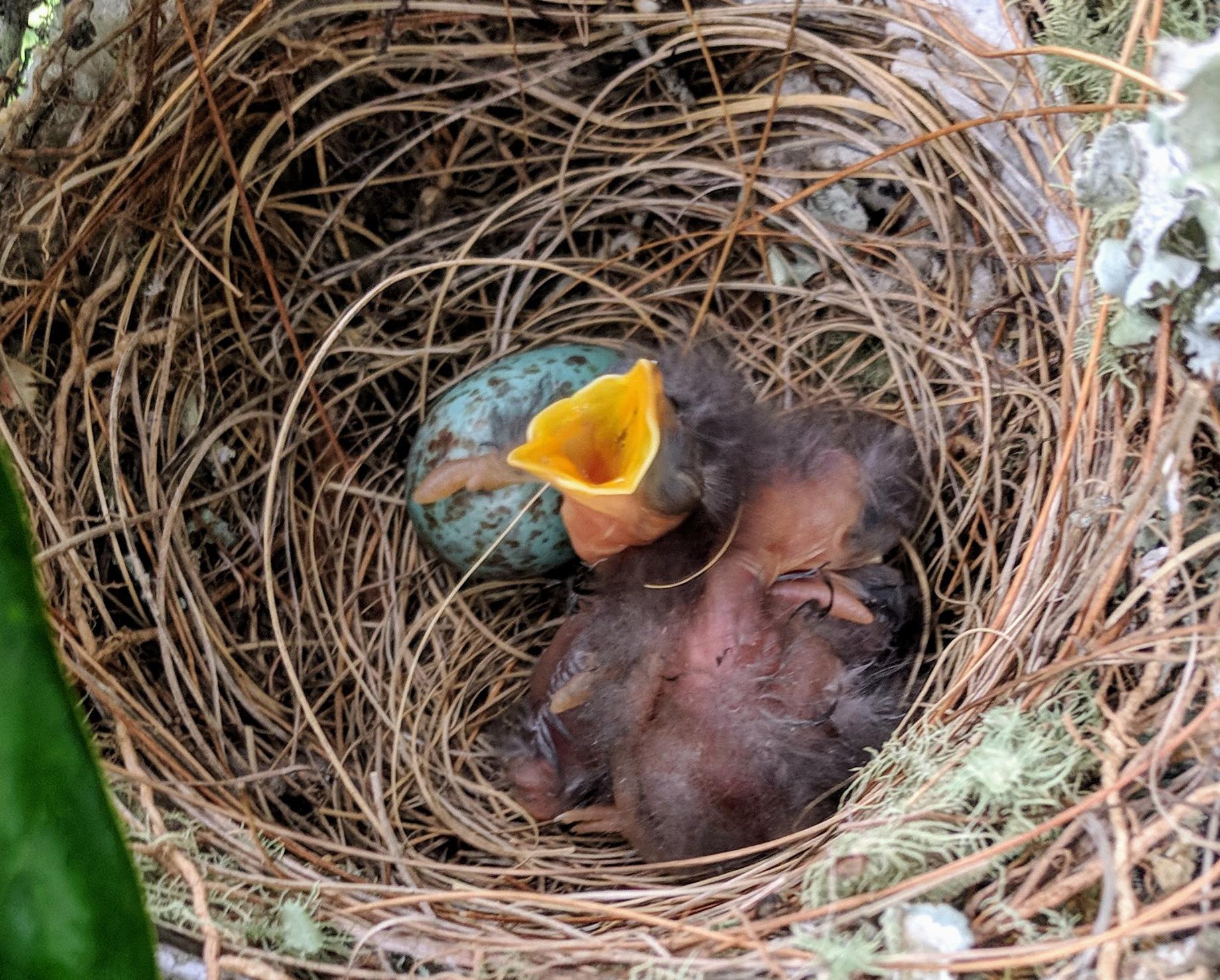 Mockingbird hatchling