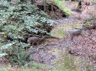 Webb Bridge Park deer