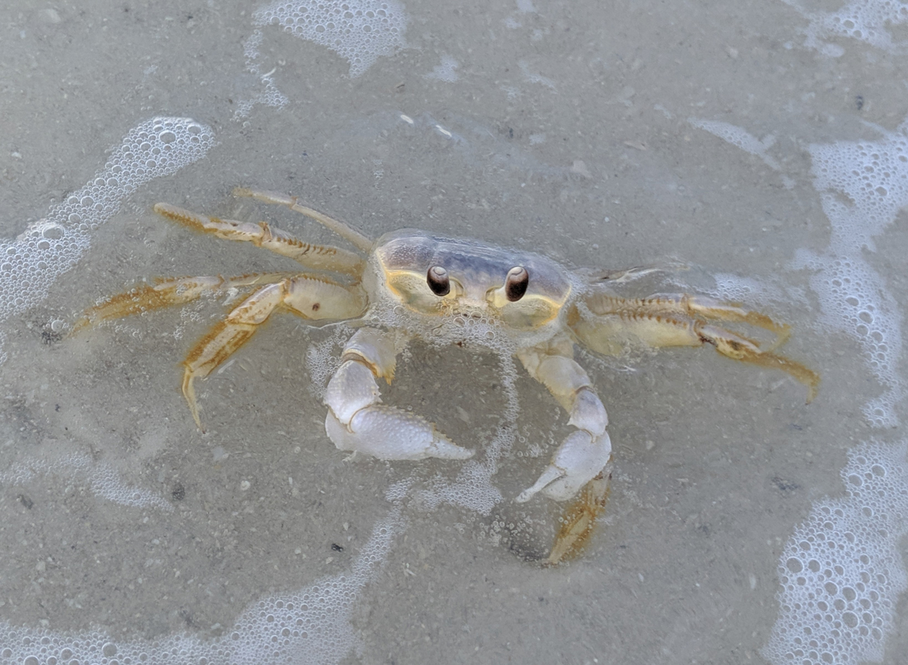 Crooked Island beach crab